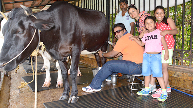 Milking Jersey Cows activity will your different experience