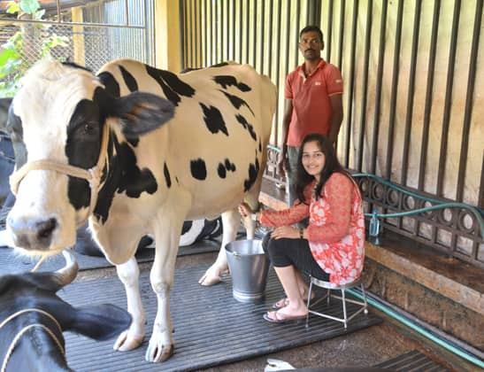 Enjoy Milking Jersey Cow at Della Adventure